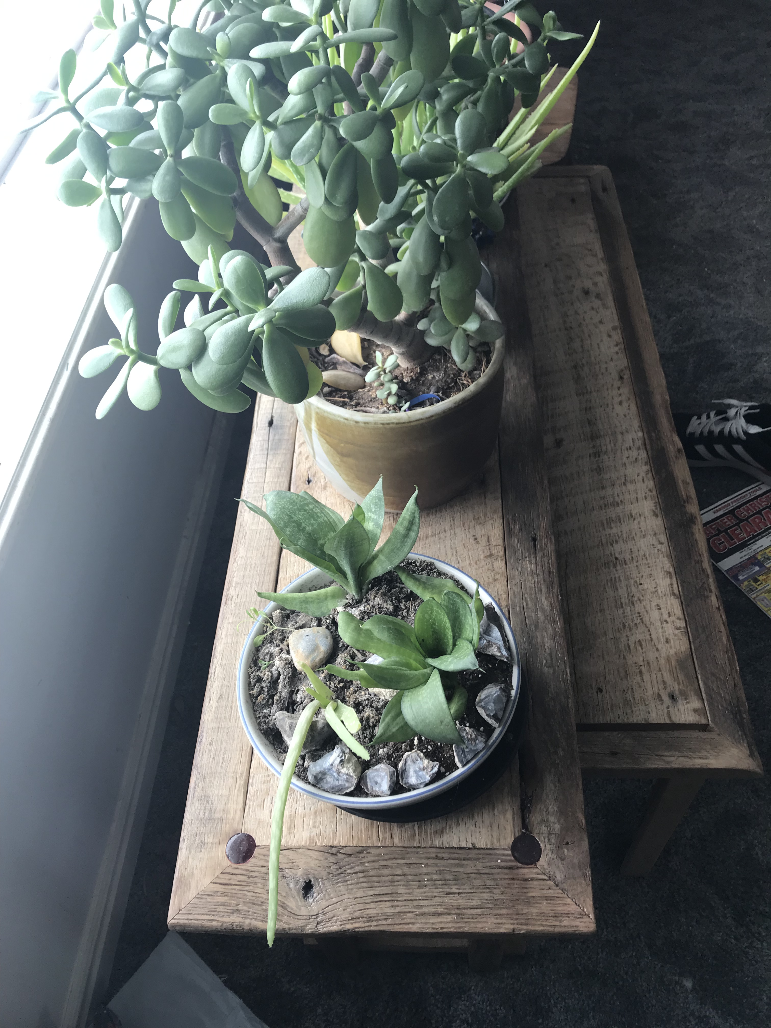 An overhead look of an oak barn wood bench with two red epoxy circles on the corners of the inside panel holding two plants, a jade plant and mother in law's ear