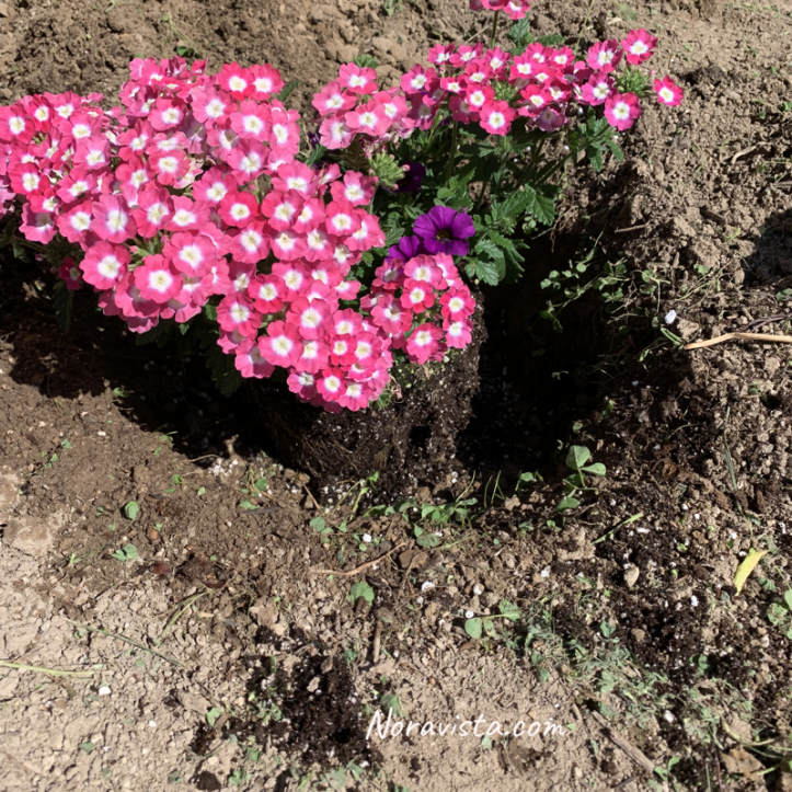 Flowers in a hole ready to be planted