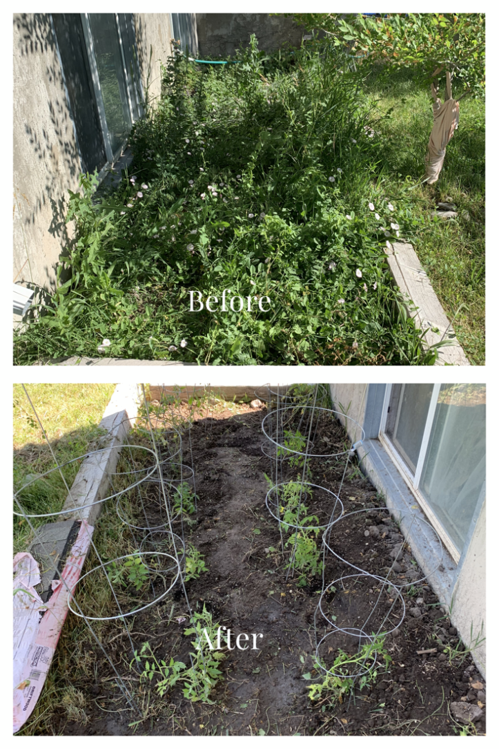 A before and after photo of a garden box full of weeds before, and planted tomatoes with cages after